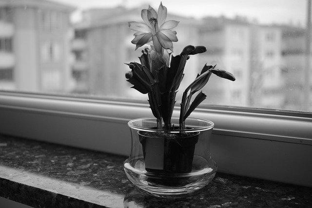 kvetoucí kaktus na okně